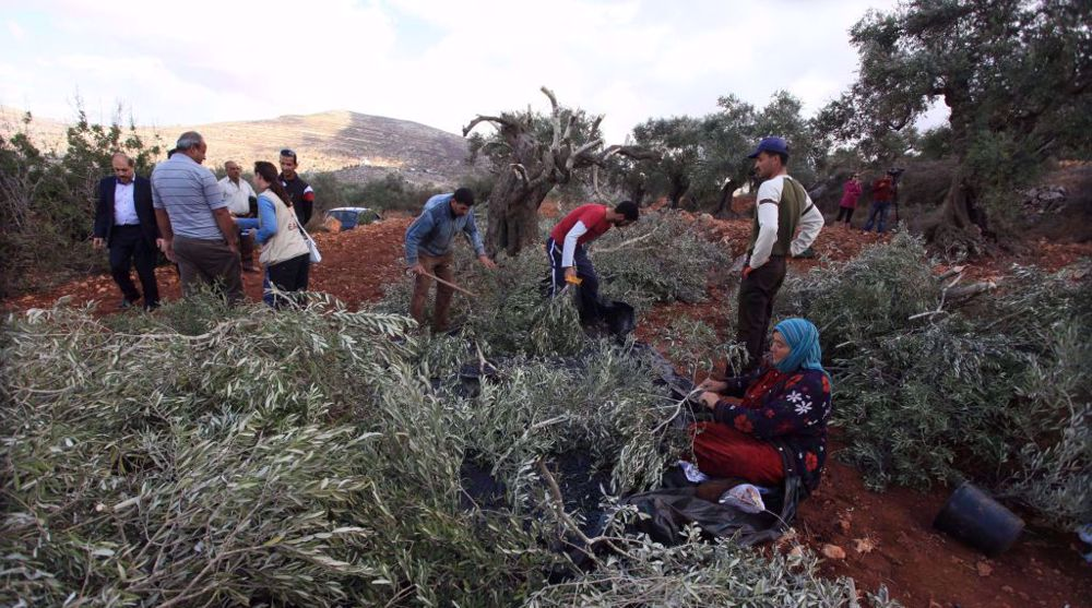 Israeli settlers uproot hundreds of Palestinian olive trees in West Bank