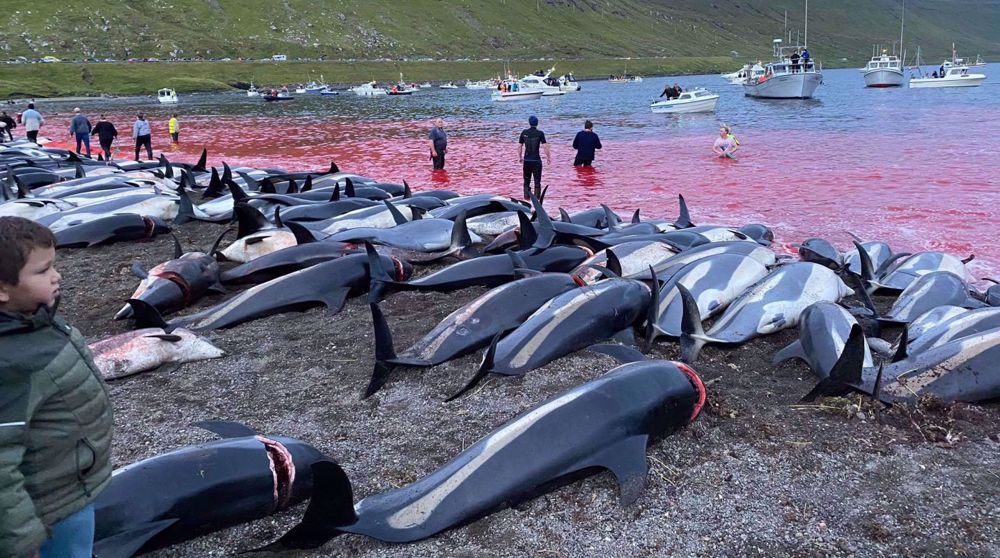 Over 1,400 dolphins killed in Faroe Islands, drawing widespread backlash