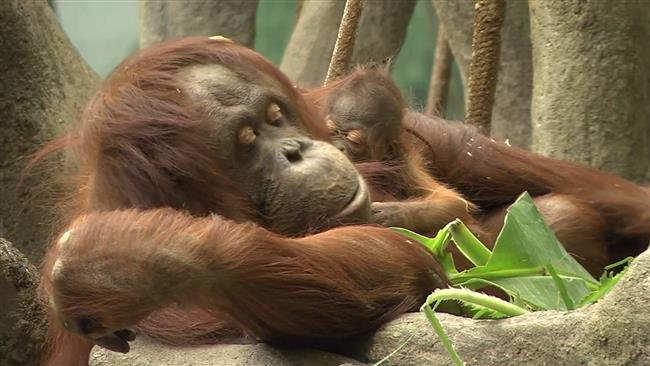 Endangered orangutan debuts at Chicago zoo